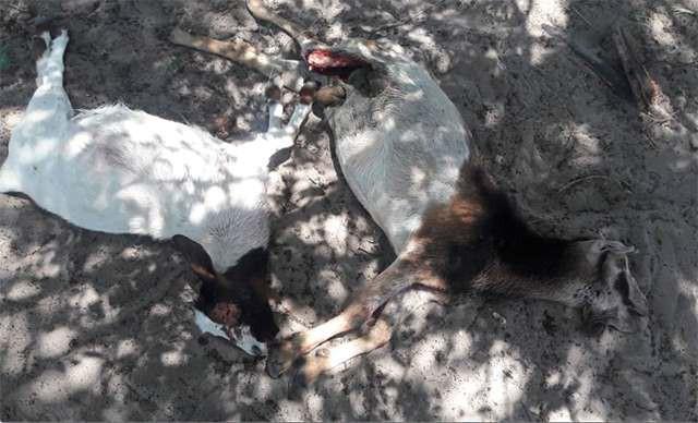 Загадочный хищник убил в Намибии 30 коз и выпил всю их кровь