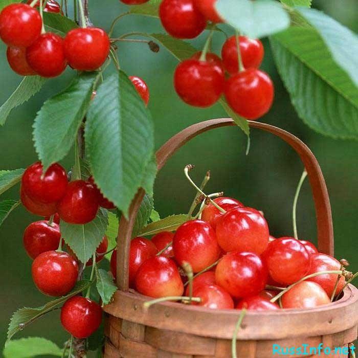 Черешня в саду: особенности растения, его посадка и выращивание