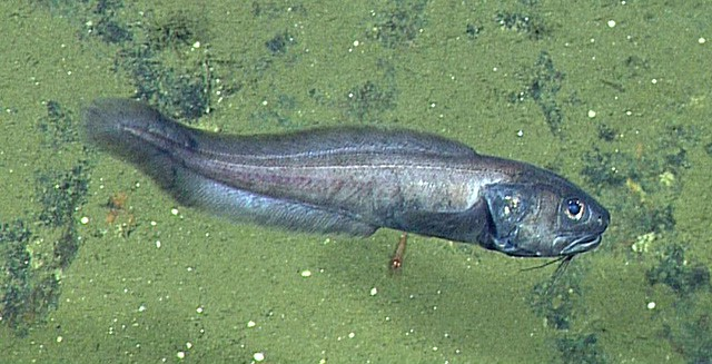 В мертвой зоне Калифорнийского залива ученые неожиданно нашли большое количество рыб