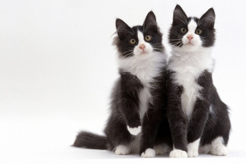 Китайцы займутся массовым клонированием кошек