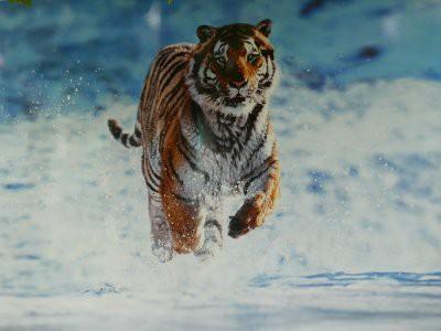 Видео с амурским тигром в Кызылординской области проверяет Минсельхоз РК