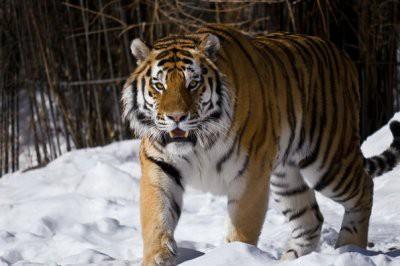 Минсельхоз опроверг информацию о том, что тигры вновь появились в дикой природе Казахстана