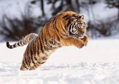В Приморье амурский тигр напал на охотника