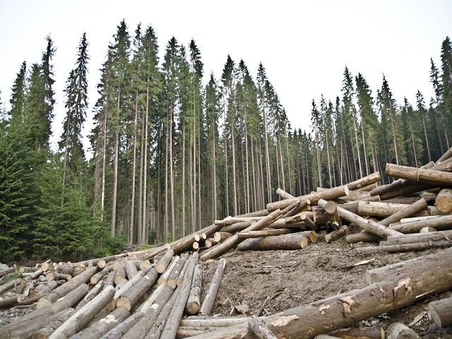 Россия может остаться без леса при сегодняшних объемах вырубки