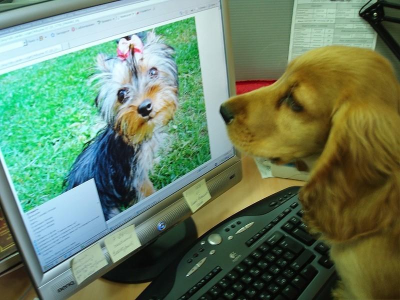 Как в интернете продают дворняг под видом собак благородных пород