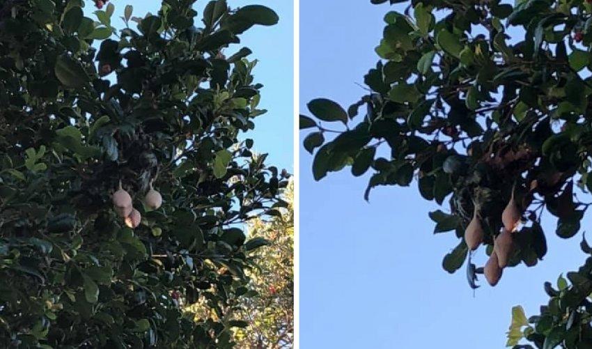 Женщина увидела на деревьях у дома странные плоды