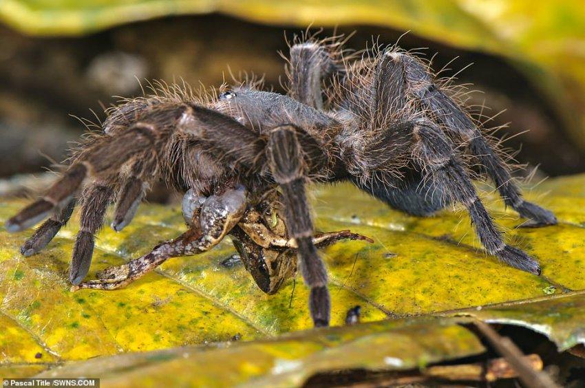 Огромные амазонские пауки едят лягушек, змей и даже опоссумов