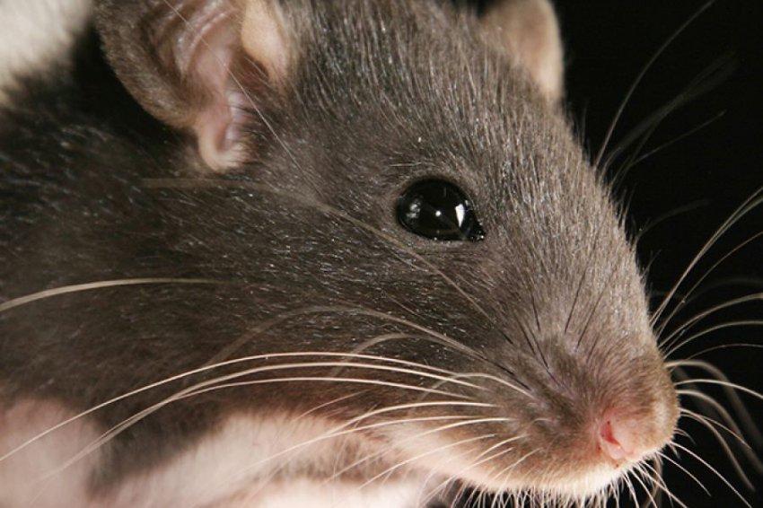 Нашествие крыс угрожает существованию человечества