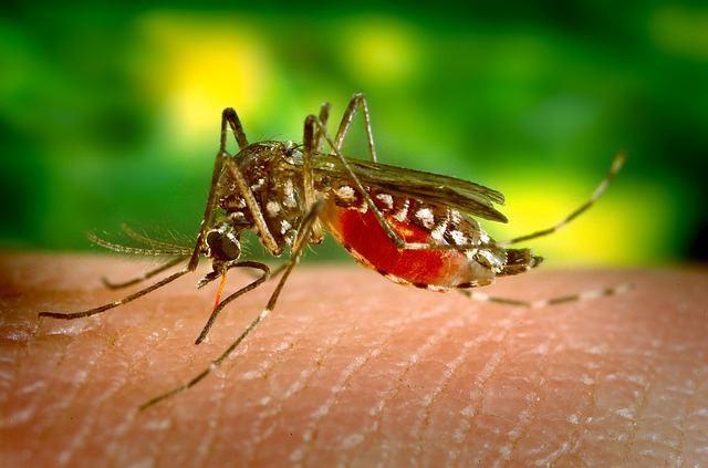 В Италии создали комаров-гермафродитов с отредактированными генами
