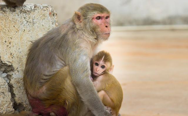 Китайские ученые пересадили макакам ген человека и обезьяны поумнели