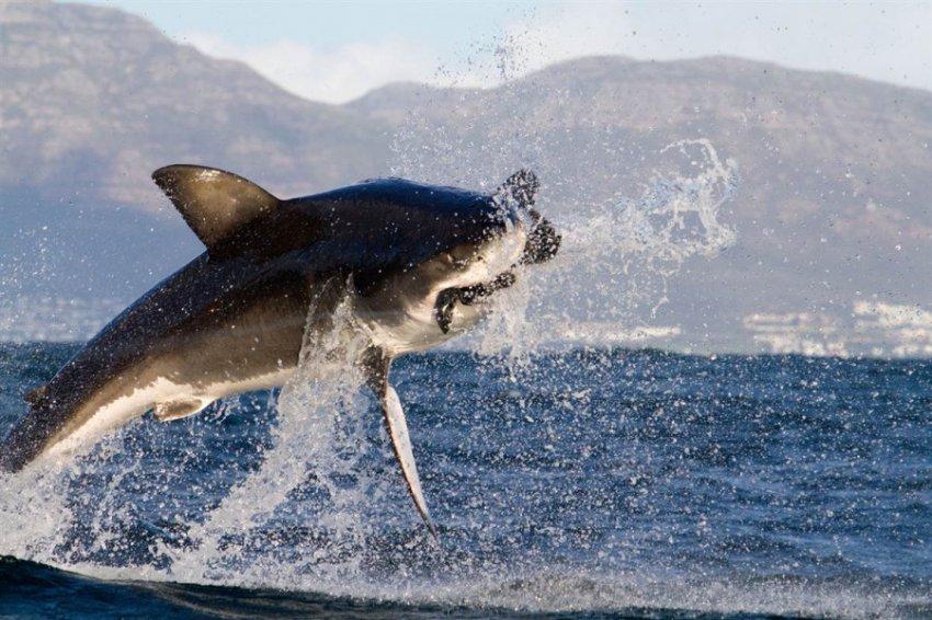 Охота акулы на тюленей в лесу водорослей