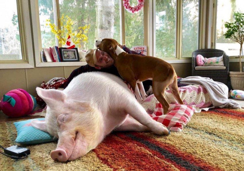 Канадцу подложили свинью, продав карликового поросенка, который вырос до 300 кг