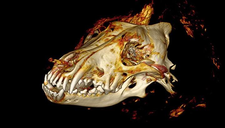 В Сибири нашли прекрасно сохранившуюся голову волка, жившего 40 тысяч лет назад
