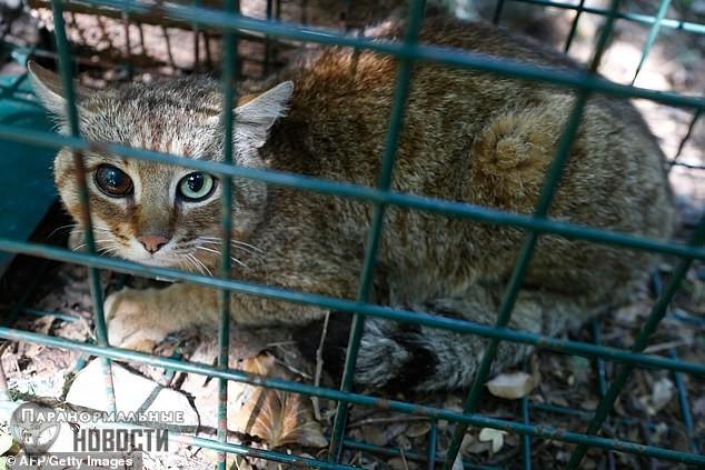 Мифический корсиканский «кот-лиса» оказался реальным животным
