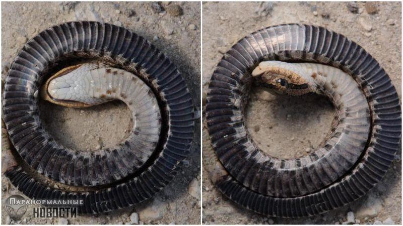 Эта змея из Северной Америки имеет удивительный защитный механизм - Паранормальные новости