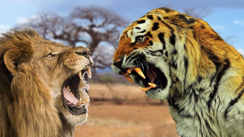 Характеристика и совместимость людей, родившихся в год Тигра