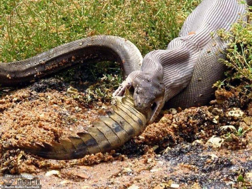 В Австралии случайно засняли как питон целиком заглотнул крокодила - Паранормальные новости