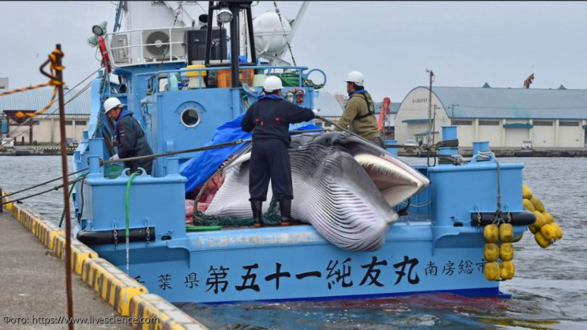 Япония сняла запрет на коммерческий китобойный промысел