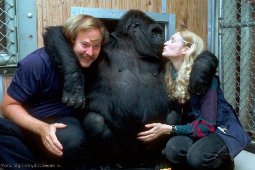 Горилла Коко считается самым умным приматом в мире