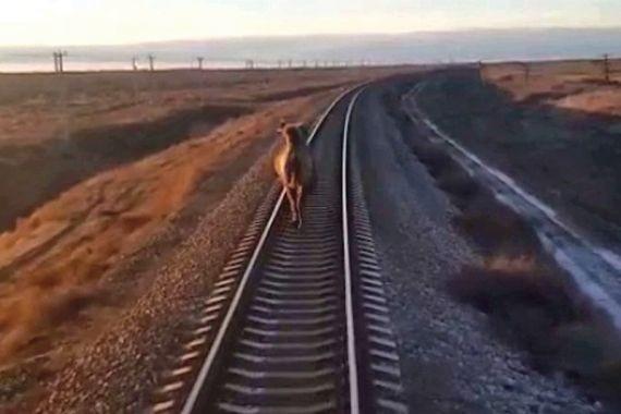 Верблюд на 2 часа задержал поезд «Ташкент-Москва»