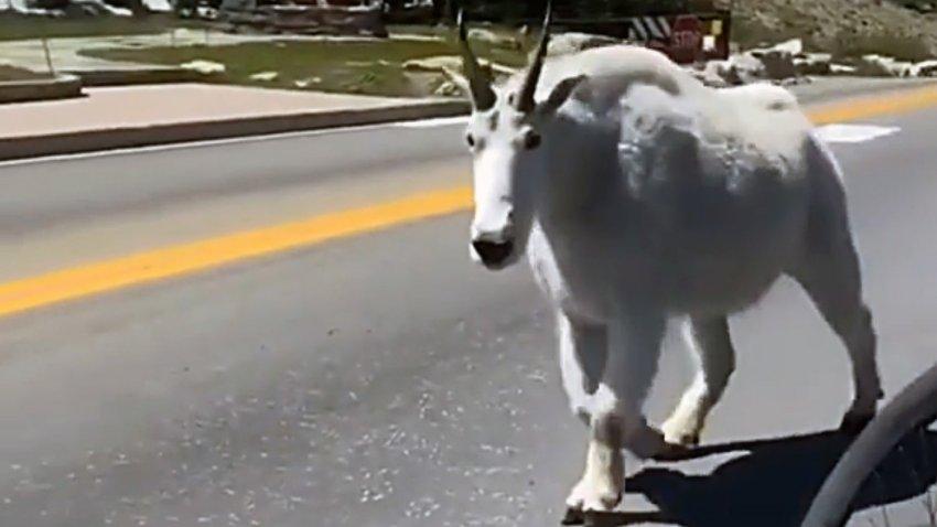 Пользователей Сети поразила гигантская коза, попавшая в горах на видео