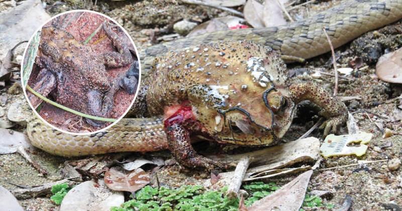 В Таиланде змеи поедают добычу изнутри, а не заглатывают ее целиком