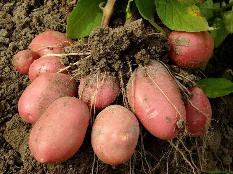 Нелегальное культивирование картофеля в 2021 году может обернуться для россиян штрафами