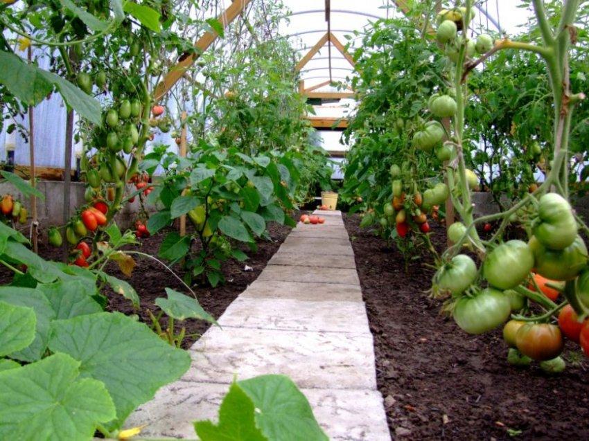 Как посадить помидоры в теплице, чтобы получить большой урожай