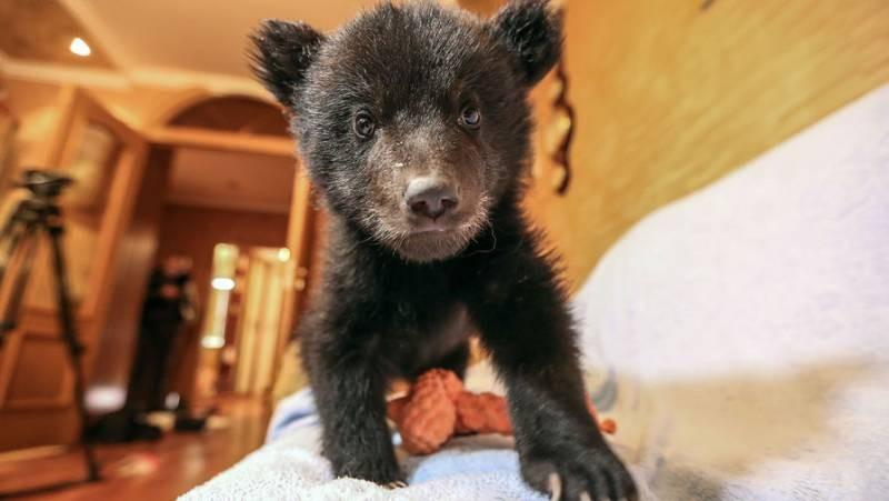 Молодая медведица гуляла по улицам Нижневартовска