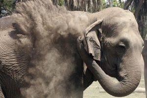 Взбесившийся слон растоптал мужчину – фермера, который возвращался с похорон