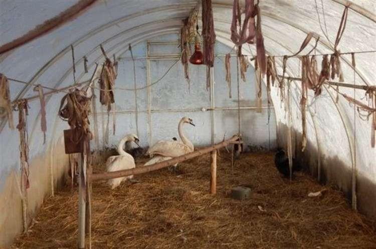 Стая лебедей, замерзающих на пруду, благополучно перезимовала, благодаря добрым людям