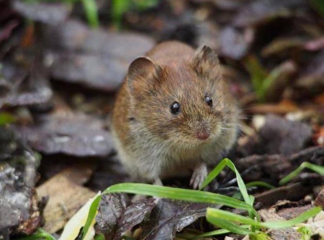 Какие запахи отпугивают крыс и мышей