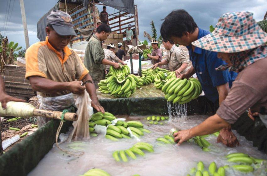 Эксперты предупредили мир об угрозе полного исчезновения бананов