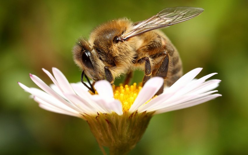 Всемирный день пчел отмечают 20 мая