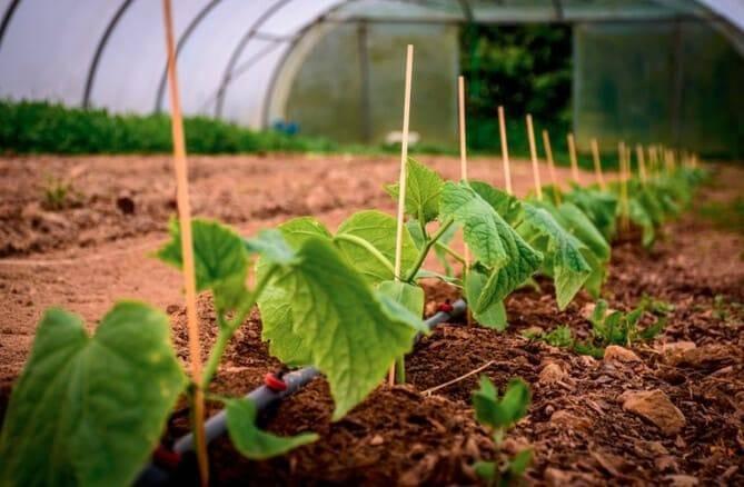 Средства для полива огурцов, чтобы они быстрее росли и лучше плодоносили