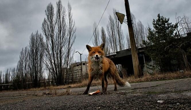 Грибы Чернобыля: аномальная жизнь под радиацией